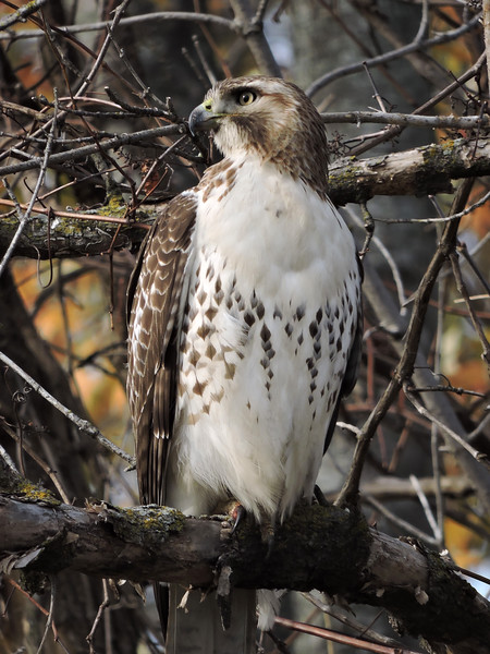 Red-Tailed Hawk (19)