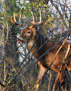 Whitetail Buck (12-Point) (69)