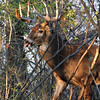 Whitetail Buck (12-Point) (69)