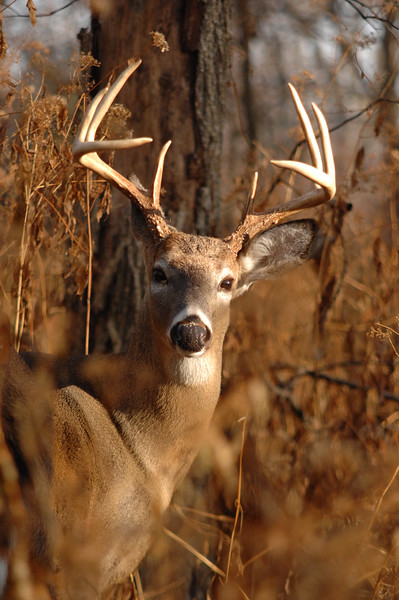 Whitetail (Buck - 8 Point) (62)