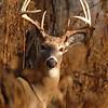 Whitetail (Buck - 8 Point) (62)