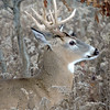 Whitetail Swan Creek 9-Point Buck (3)