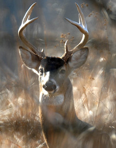 Whitetail 10 Point Buck 007