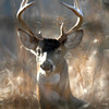 Whitetail 10 Point Buck 007