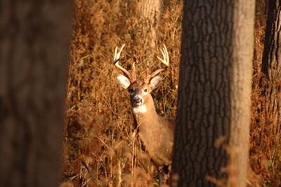 Whitetail (Buck - 10 Point) (10)