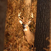 Whitetail (Buck - 10 Point) (10)