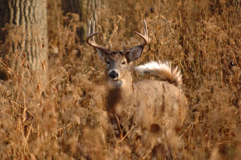 Whitetail (Buck - 10 Pt  Roman Nose) (66)