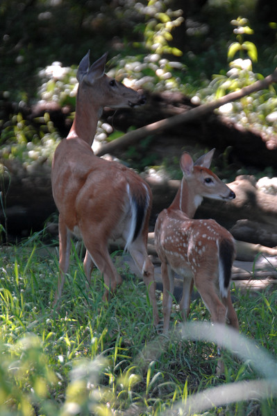 Whitetail Fawn & Doe (2)