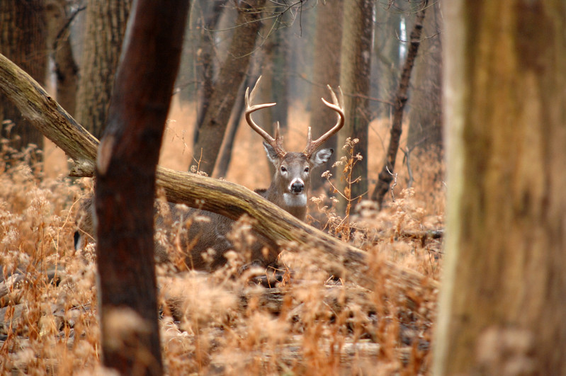 Whitetail Sidecut Bucks VIII 013