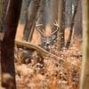 Whitetail Sidecut Bucks VIII 013