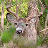 Whitetail Buck (10-Point) (88)