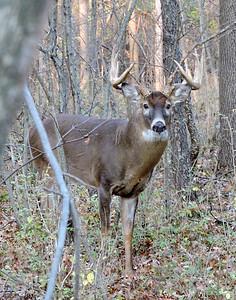 Whitetail Buck (12-Point) (66)