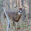 Whitetail Buck (12-Point) (66)