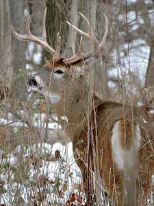 Whitetail Swan Creek 8- Point Buck (46)