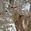 Whitetail Swan Creek 8- Point Buck (46)