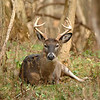 Whitetail (Buck - 8 Pt) (19)