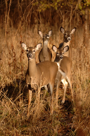 Whitetail Does - 4 (18)