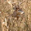 Whitetail 11 Point Buck 045
