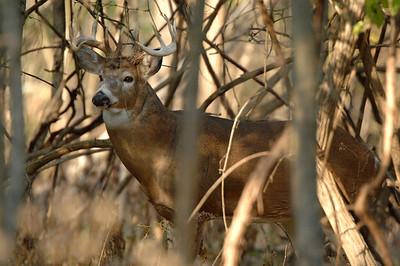 Whitetail (Buck - 11 Point) (15)