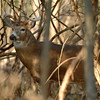 Whitetail (Buck - 11 Point) (15)