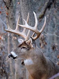 Whitetail Swan Creek 10-Point Buck (9)