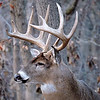 Whitetail Swan Creek 10-Point Buck (9)