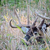 Whitetail Buck (10-Point) (32)
