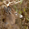 Whitetail 9 Point Buck 019