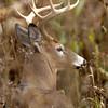 Whitetail 9 Point Buck 019