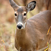 Whitetail Doe (7)