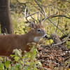 Whitetail (Buck - Sticker) (49)