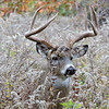 Whitetail Buck (7 -Point) (15)
