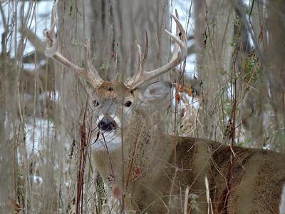 Whitetail Swan Creek 8- Point Buck (42)
