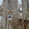 Whitetail Swan Creek 8- Point Buck (42)