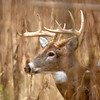 Whitetail 10 Point Buck 056