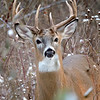 Whitetail Swan Creek 9-Point Buck (10)