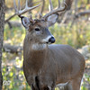 Whitetail (Buck - 10 Pt  Roman Nose) (22)