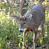 Whitetail (Buck - 10 Pt  Roman Nose) (35)
