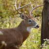 Whitetail (Buck - Sticker) (56)
