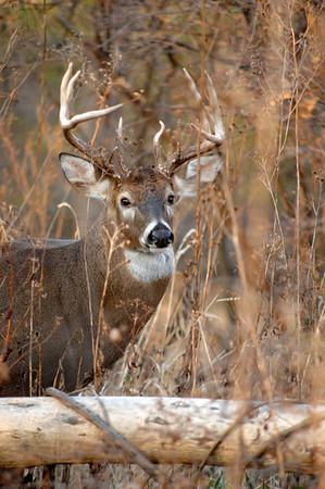 Whitetail (Buck - 13 Point) (34)