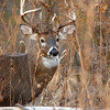 Whitetail (Buck - 13 Point) (34)