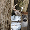 Whitetail Swan Creek 10-Point Buck (90)