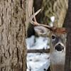 Whitetail Swan Creek 10-Point Buck (90)