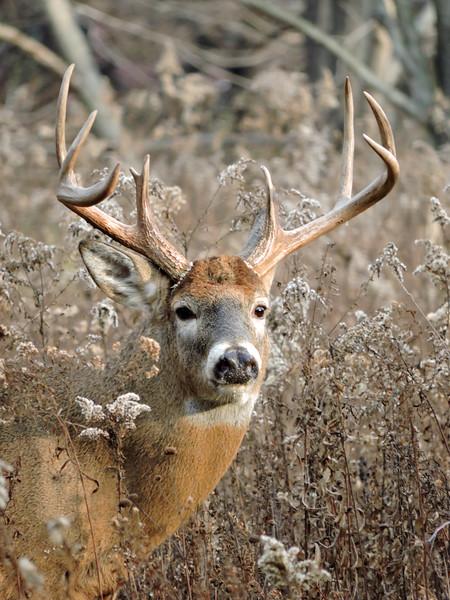 Whitetail Swan Creek 8- Point Buck (64)