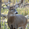 Whitetail (Buck - 10 Pt  Roman Nose) (44)
