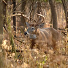 Whitetail (Buck - Sticker) (83)