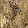 Whitetail 11 Point Buck 051