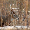 Whitetail (Buck - 13 Point) (21)