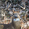 Whitetail Buck (9-Point Tall) (7)