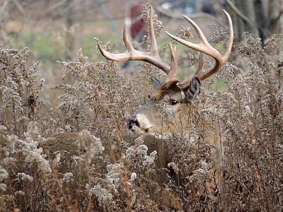 Whitetail Swan Creek 8- Point Buck (52)